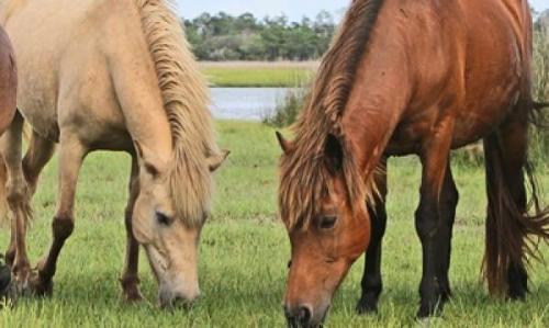horses shackleford